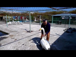Как лебедь Жорка жалуется директору барнаульского зоопарка