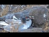 Swallow-tailed gull / Галапагосская чайка / Creagrus furcatus
