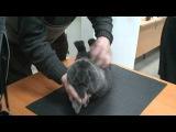 Семинар по кролиководству. Экспертиза кролика породы Венский голубой.