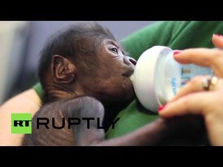 Великобритания: Детские горилла доставлен редкой кесарева сечения в Бристольском Зоопарке.