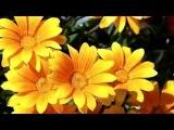 Полевые цветы под музыку Сара Брайтман   Нежность Вокализ С Рахманинов PicrollaMusVid net