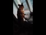 Собака и окно