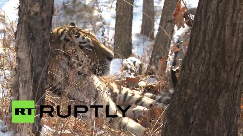 Амурский тигр подружился с отданным ему на съедение бесстрашным козлом Тимуром