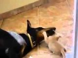 Котенок играет с сонным доберманом