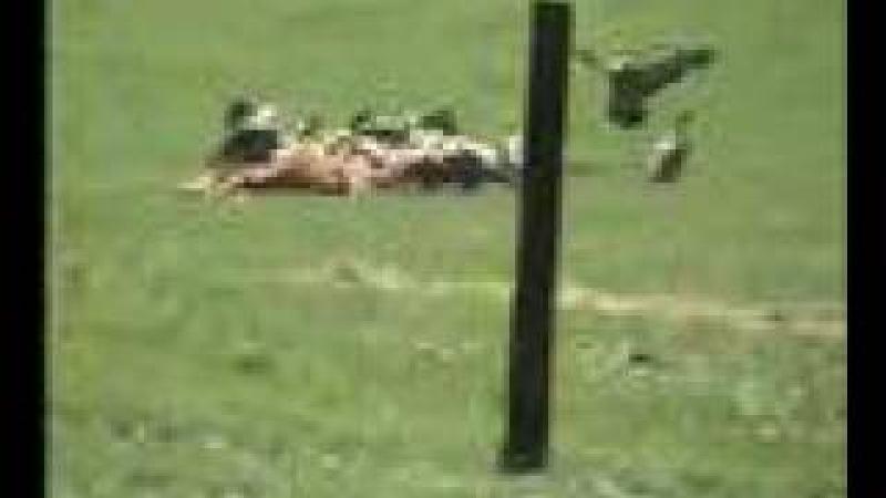 Стервятники атаковали скот, когда корова рожала (Buitres atacando ganado cuando la vaca esta pariendo)