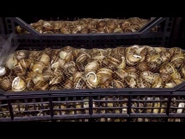 Hodowla ślimaków Snails-Pol chłodnie helix aspersa muller / maxima