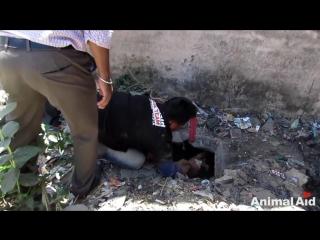 Чудесное спасение собаки из канализации