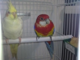 Попугаи. Розелла и Корелла / the parrot Rosella and Corella