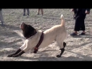 Рабочие собаки афганский волкодав Куче САО