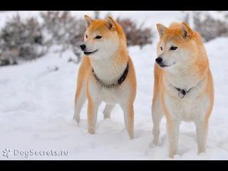 Сиба ину(шиба ину), все породы собак, 101 dogs. Введение в собаковедение.