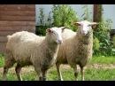 Молочные овцы Ост фризской породы Фермерское хозяйство Капри