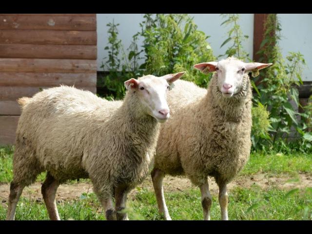 Молочные овцы Ост-фризской породы. Фермерское хозяйство Капри