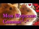 ^-^Мои Морские Свинки Белла и Фрося*-*