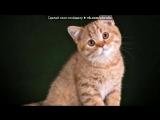Британские котята бизнес-класса под музыку А. Морозов, Ю. Марцинкевич - Кис-кис, мяу...вот и вся муЗЫка.... Picrolla