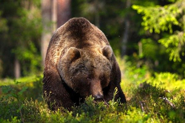 Медведи затравили более 250 домашних оленей в Якутии