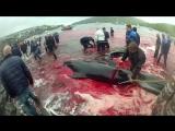 Жестокое убийство китов и дельфинов в Дании продолжается (2016)