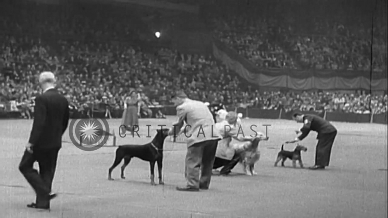 A Doberman wins the 76th Westminster Kennel Club Dog Show at Madison Square Garde...HD Stock Footage