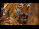 Жестокие бои тигров Борьба на выживание в мире животных