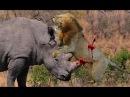 Quando um predador é a presa para atacar crocodilo, javali, búfalo, girafa, leão, python