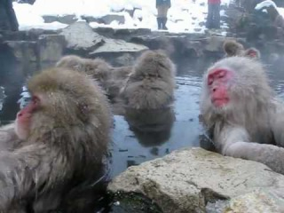 Snow monkey or Japanese macaque (Macaca fuscata)