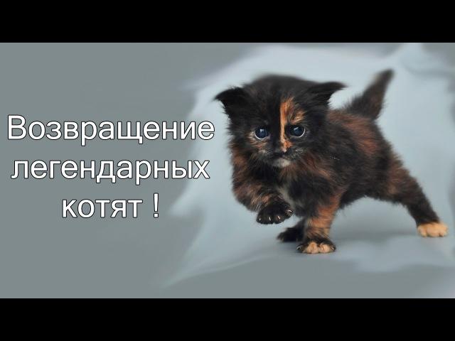 Возвращение легендарных котят ! ( Strikeforce kitty league )