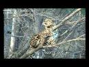 Дальневосточный леопард Leo 80M на дереве Amur leopard on the tree