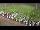 Выращивание томатов в теплице.Часть 1. Я сажаю.