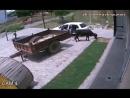 Корову украли - [Веселые Кавказцы]