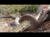Анаконда проглотила крокодила / Anaconda swallowed crocodile
