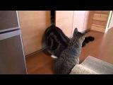 Тощий попросил толстого добраться до хавчика kitty cat FUNNY VIDEOS FAIL COMPILATION