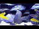 Fish Profile Yellow Lab African Cichlids HD