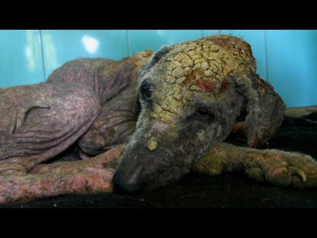 Awe-inspiring recovery of a dog turning to stone from mange
