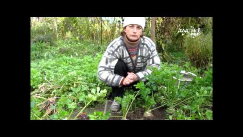 Корневой сельдерей. Сайт Садовый мир