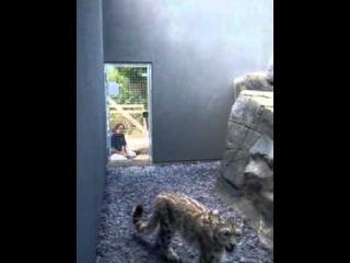 Паркур снежного барса (Snow leopard parkour)