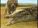 Львы убили детёныша нильского крокодила