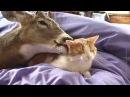 CAT LICKING DEER