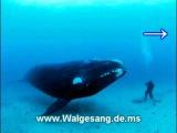 Entspannungsmusik Unterwasser Walgesang - Wal Musik - Walfischgesang unter Wasser