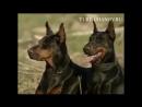 Всем собакам породы Доберман посвящается!