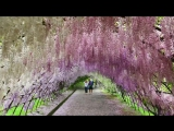 Сад цветов Кавати Фудзи (Kawachi Fuji Garden).