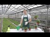 Неприхотливые комнатные растения  домашний папоротник Нефролепис