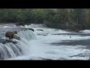 Медведица спасла упавших в речку медвежат.