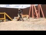 Дрессировка собак в Новосибирске. Механический метод дрессировки собак