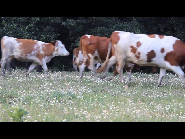 Поездка в Саврань.Лес,коровы,страусы 2016 Trip to Savran. Forest , cows , ostriches