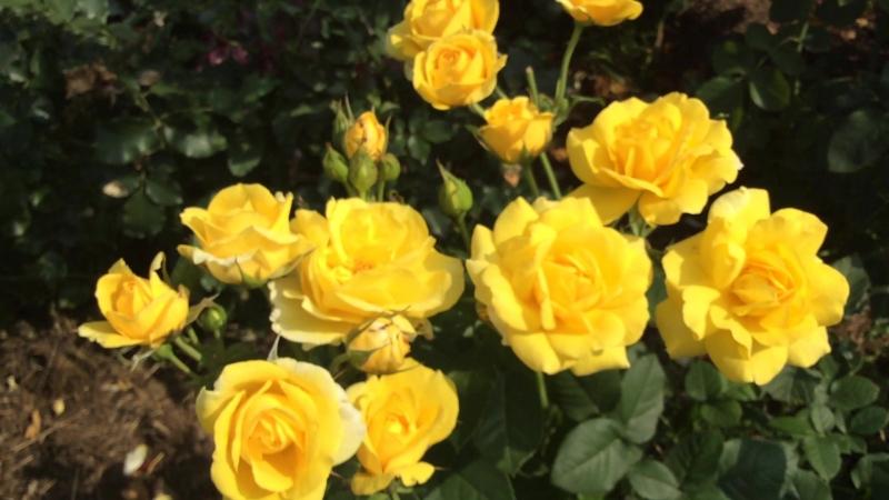 Роза Fantasia Mondiale (Фантазия Мондиаль) и жёлтый спрей Sun City (Сан Сити)