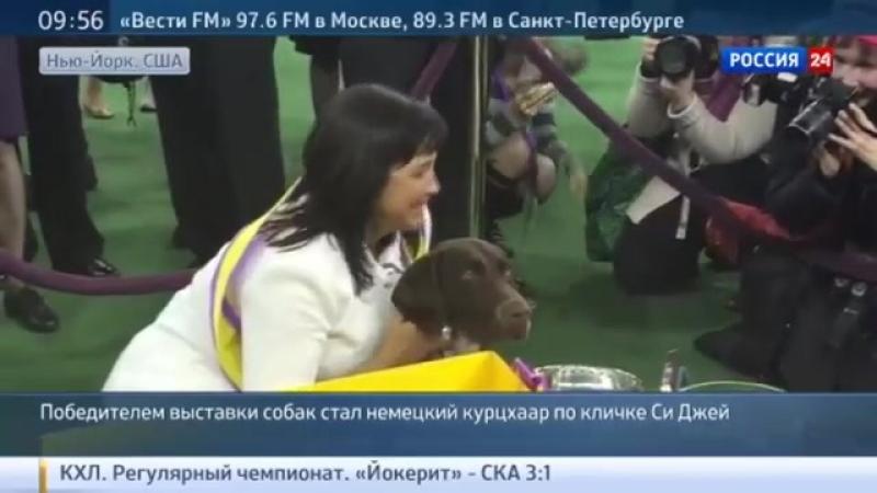 Курцхаар объявлен победителем выставки собак Westminster Kennel Club Dog Show 2016