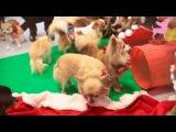 Рождественская вечеринка чихуахуа
