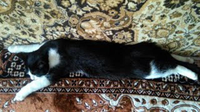 Кис Кис Мяу Смешные Кошки