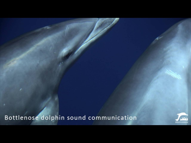 Bottlenose dolphin communication sound in the wild