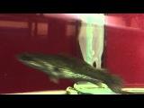 Змееголов стриата - Channa striata