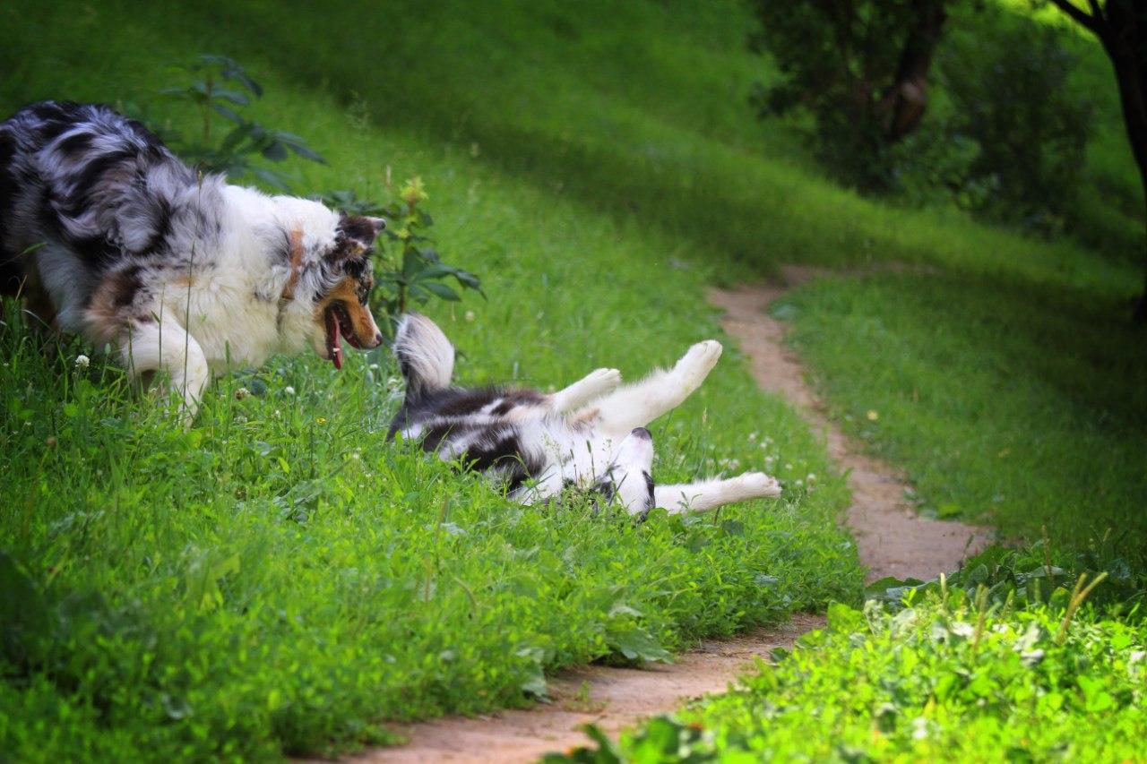 """Австралийские овчарки питомника """"Из дома Королёвой"""" - Страница 3 HzsPnvxIhSM"""